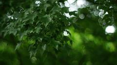 Windy Day (teruw0teruw0) Tags: street summer green leaves june japan japanese 50mm tokyo leaf asia dof bokeh sony streetphotography nagoya  f2 japo manual jupiter   japon giappone tokio  classiclens japn jupiter8 2016 nex 6  japonia crosswithcare oldlens  mirrorless  8  stphotographia emount nex5r