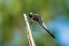 Blacktailed Skimmer (abritinquint Natural Photography) Tags: natural wildlife nature wild nikon d7200 telephoto 300mm pf f4 300mmf4 300f4 nikkor teleconverter tc17eii pfedvr germany skimmer blacktailed blacktailedskimmer dragon fly dragonfly