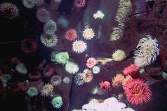 Corals (jacklynchan) Tags: toronto canada abstract water underwater ripleys acquarium corals