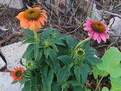 Multicolored coneflowers (EllenJo) Tags: pentaxqs1 pentax july 2016 ellenjoroberts ellenjo coneflower echinachea flowers yard garden