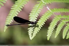 Black Dragonfly (Joo Clrigo) Tags: black dragonfly preta libelinha