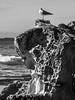 Rock (LSydney) Tags: turimetta bw blackwhite blackandwhite rock weathering seagull coast sandstone
