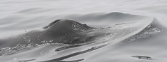 Humpback Whales (larryvenus) Tags: infocus highquality whales humpbackwhales humpbackflutes humbackblowholes montereywhalewatching monterey montereywhales montereycounty nikon nikond500 tamron tamron150600mmlens