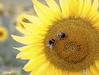 Tiempo de Girasoles (veromatteo) Tags: girasoles sol camposdecastilla campos