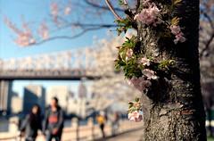 Cherry Blossoms (dtanist) Tags: new york city nyc newyorkcity bridge newyork film analog cherry island md minolta kodak blossoms roosevelt mc 100 45mm queensboro x700 ektar rokkor rokkorx