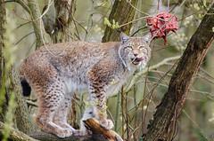 Lynx (Mathias Appel) Tags: cat germany deutschland zoo nikon feline ears katze tierpark lynx ohren luchs d7000