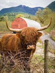 A Highland Coo (♥Stephanie Larbalestier) Tags: leica trees sky canada mountains barn creek fence lumix countryside cow wire britishcolumbia farm f14 horns panasonic highland barbedwire april mission highlandcattle redbarn coo 25mm highlandcow 2015 scottishcow highlandcoo pricklebush scottishcattle gx1 cowwithhorns micro43 microfourthirds cowwithhair cattlewithhair lookslikeabull