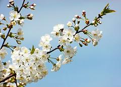 Frühling lässt sein blaues Band ... Kirschblüten (Kindergartenkinder) Tags: blumen garten frühling schrebergarten kirschblüten kindergartenkinder