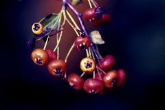 nature (calimmacil1) Tags: nature fleur fruits plante grappe