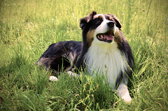 Po (eleonora.vidale) Tags: dog cane shepherd australian australiano po pastore herding poseidone
