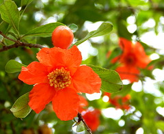 Pomegranate flower    (Nadia Rifaat) Tags: orange flower tree nature fruit nikon outdoor pomegranate coolpix      l830