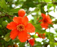 Pomegranate flower  زهرة الرمان (Nadia Rifaat) Tags: orange flower tree nature fruit nikon outdoor pomegranate coolpix زهرة طبيعة شجر فاكهة الرمان l830