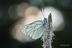 Black-veined white butterfly (Kathy Samuel) Tags: france nature butterfly bokeh ngc blackveinedwhite hautesalpes aporia crataegi pihlajaperhonen
