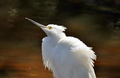 Snowy Egret (Jan Nagalski) Tags: winter white nature pond florida bokeh wildlife february egret snowyegret whitebird southwestflorida darkbackground dingdarlingnationalwildliferefuge jannagal jannagalski