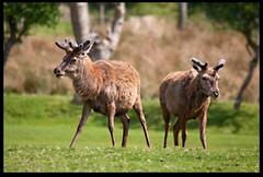 Young Stags (zweiblumen) Tags: uk nature mammal scotland stag alba wildlife isleofarran reddeer lochranza cervuselaphus northayrshire eileanarainn canoneos50d zweiblumen sigma150500mm lochraonasa