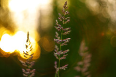 Afternoon (Kristian Francke) Tags: light sunset sun canada green nature grass yellow warm afternoon bc natural pentax bokeh columbia british zenit helios 44k k50