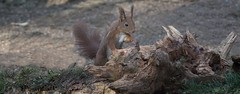 DSC08347rawcon_b (ger hadem) Tags: veluwe zwijn eekhoorn gerhadem
