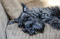 Yoda Bart (bigbluewolf) Tags: dog pet pets black dogs ball garden fun 50mm miniature nikon may schnauzer mini miniatureschnauzer schnauzers d7000