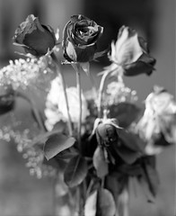 Roses are not red (The Stugots) Tags: life flowers roses bw white black 120 mamiya film home nature beautiful photography photo still pittsburgh kodak bokeh trix 110 hc110 400 epson medium format 6x7 developed rapid hc development ilford rb 67 bnw v550 rb67 fixer 127mm