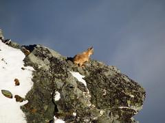Ibex on the Gornergrat (lvalgaerts) Tags: snow clouds switzerland spring glacier alpine gornergrat zermatt monterosa matterhorn gletscher dufour ibex cervino gorner