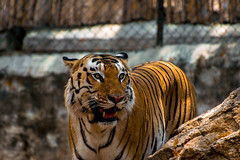 Le tigre peut renifler la rose (- Ali Rankouhi) Tags: park india zoo eyes tiger bangalore national april croc strong strength bannerghatta tigre fang 2016 1395
