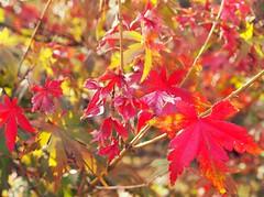 Japanese Maple Leaves (sandraarrell) Tags: autumn leaves may japanesemaple nsw 2016 springwood sandraarrell