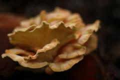 (Nesster) Tags: mushroom takumar fungus smc 5014