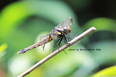 Dragonfly (Whitefox Chen) Tags: canon insect dragonfly taiwan   keelung  6d  canon70300mm