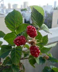 Blackberry (Assaf Shtilman) Tags: red fruit blackberry ripening