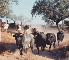 Encerro dos Murteira Grave para serem embarcados para a corrida desta tarde. J tinham visto este momento? #touradas (Protoiro) Tags: toros bullfight tauromaquia touradas protoiro