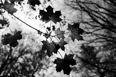 Sugar Maple Leaves (mgestewitz) Tags: trees summer blackandwhite bw plant tree film nature monochrome leaves analog vintage outside outdoors leaf spring bokeh newhampshire nh olympus foliage ilford fp4 om1 125