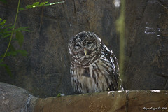 Barred Owl_2061 (RustyE09) Tags: nature outdoors zoo wildlife owl barred caldwell