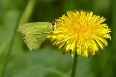 Common Brimstone - Citroenvlinder (joeke pieters) Tags: flower butterfly bokeh dandelion papillon citron schmetterling vlinder bloem lwenzahn paardenbloem zitronenfalter gonepteryxrhamni citroenvlinder ruderalia commonbrimstone panasonicdmcfz150 1270341