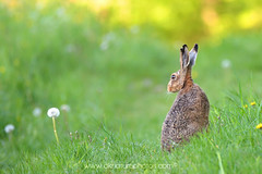 being accepted (chriskae94) Tags: flowers sunset brown eye field grass animal germany nikon hare stuttgart pov contemporary wildlife low sigma 150 shade 600 contact d5300