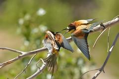 1 pied en france et voila  ils sont comme nous (frederic.laroche6) Tags: bird nikon provence oiseau alpilles animalier guepier 300f4 mouries d7100