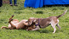 16-05-15_untitled_639 (Daniel.Lange) Tags: dog philadelphia dogs ginger honey dogdayafternoon spado columbussquarepark
