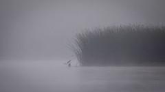 Scout (gseloff) Tags: bird fog texas feeding wildlife pasadena greategret bulrushes armandbayou kayakphotography gseloff galvestonbayestuary