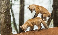 IMG_4948 Red Fox Kits at Play (Wallace River) Tags: novascotia kits playtime foxkits redfoxkits