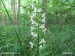 Butterfly Orchid 19/06/2016 (the_greenman) Tags: bluebells orchids conservation hazel thegreenman wildlifetrust ancientwoodland gransden oxlips waresleywood coppicemanagement wwwwaresleywoodcouk