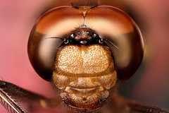 Dragonfly Face, Low Mag (Macroscopic Solutions) Tags: macro fly compound eyes dragon dragonfly micro macropod odonata microkit