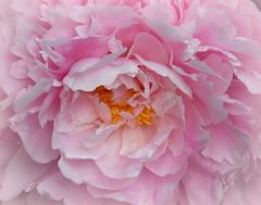 Peonie perfection Explore (Jane.Des) Tags: pink petals pretty pollen peonie perfumed