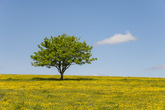 Lone tree with a lone cloud (Keartona) Tags: lonetree summer buttercups meadow field countryside tree lonecloud bluesky sky landscape blue yellow derbyshire england peakdistrict simple composition sunny day