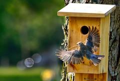 Bluebird (female) (BobBetts) Tags: blue tree bird female nest birdhouse bluebird