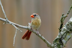 Young female Cardinal.... (Alas Anonimo) Tags: wood wild tree bird nature female outdoors cardinal little wildlife young
