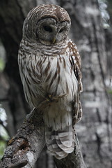 Barred Owl (jd.willson) Tags: me nature birds island bay wildlife birding maine owl jd penobscot barred willson islesboro jdwillson