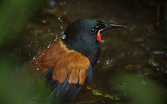IMGP1244 Saddleback (Tieke) bathing Zealandia Wellington NZ 05 06 16 (Donald Laing) Tags: new birds native donald zealand wellington sanctuary laing zealandia