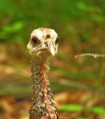 Wild Turkey (Photos by the Swamper) Tags: birds turkey cranes sandhillcranes wildfowl