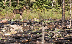 Cow Moose in Burn Area (TofteTom) Tags: nature minnesota wildlife moose northshore northwoods wildlifephotography alcesalces minnesotamoose