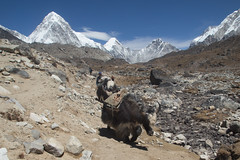 Yak train (D A Scott) Tags: nepal camp mountains trek asia everest base himalayas