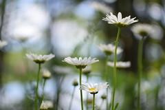 DSC_0049 (Amelia Cacchione) Tags: adirondacks mountains lake flowers daisys adirondack upstate ny new york indian